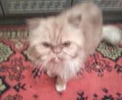 Персидский кот Чарлик для вязки