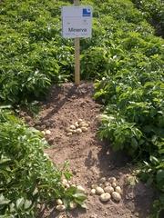 семенной картофель для Профессионалов -гарания Вашего успеха в бизнесе