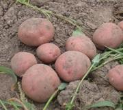Продам красную картошку