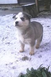 Продам щенков западносибирской лайки
