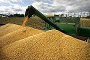 закуповуєм зерно кукурудзи та побічний продукт