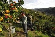 Испания сбор цитрусовых.