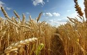 пшениця 40т
